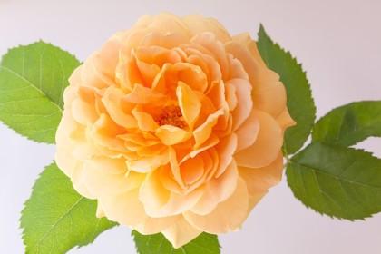 rose-807139_640