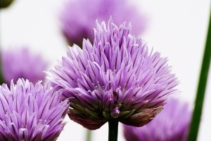 chives-764711_640